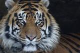 Тигров везли через Польшу в Россию контрабондой